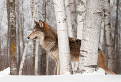 Grey Wolf (Canis lupus) Stands Looking Left Stock Photo