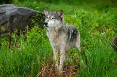 Grey Wolf Canis lupus Stands Looking Left Royalty Free Stock Photography