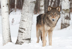 Grey Wolf (Canis lupus) Stands Near Birch Trees Royalty Free Stock Image