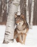 Grey Wolf (Canis lupus) Stands Next to Birch Tree Stock Images