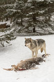 Grey Wolf Canis lupus Stands Over Deer Carcass Stock Photo