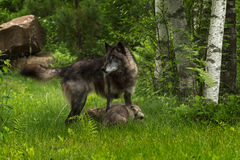 Grey Wolf (Canis lupus) Stands Over Pups Royalty Free Stock Image