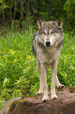 Grey Wolf (Canis lupus) Stands on Rock Royalty Free Stock Photography