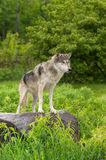 Grey Wolf (Canis lupus) Stands on Rock Looking Right Stock Photos