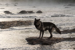 Grey Wolf (Canis lupus) Stands on Rock in Misty River Royalty Free Stock Photo