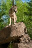 Grey Wolf Canis lupus Stands on Rock With Pup Below. Captive animals Stock Photos