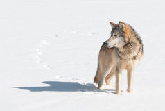 Grey Wolf (Canis lupus) Stands in Snow Looking Left Royalty Free Stock Photo