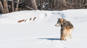 Grey Wolf (Canis lupus) Stands in Snowing Looking Left Stock Photography