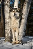Grey Wolf Canis lupus Stands Tall Between Trees Winter stock images