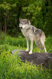 Grey Wolf Canis lupus Stands To Left Atop Rock Stock Photo