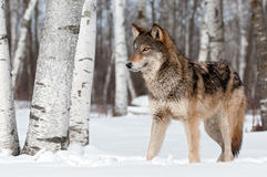 Grey Wolf (Canis lupus) Stands Towards Left Stock Image