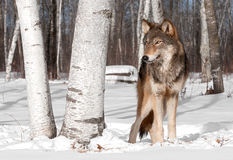 Grey Wolf (Canis lupus) Stands in Treeline with Birch Tree Royalty Free Stock Photo
