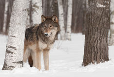 Grey Wolf (Canis lupus) Stands in Treeline Stock Image