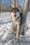 Grey Wolf Canis lupus Stands Between Trees Ears Forward Stock Photo