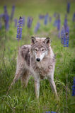 Grey Wolf Canis lupus Stands Wide Stance Royalty Free Stock Image