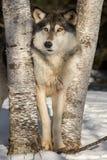 Grey Wolf Canis-Lupus steht zwischen Bäumen Stockfotos