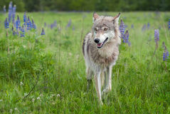 Grey Wolf Canis lupus Steps Forward With Ears Back Royalty Free Stock Photography