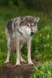 Grey Wolf Canis lupus stirrar ut från uppe på vaggar Intensely arkivfoton