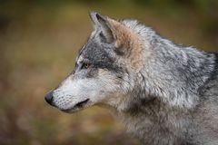 Free Grey Wolf Canis Lupus Straight Left Profile Autumn Stock Photography - 148366662