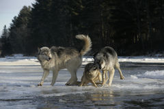 Grey wolf, Canis lupus Royalty Free Stock Photos