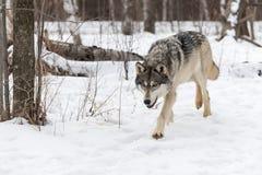 Grey Wolf Canis lupus traver framåtriktat Royaltyfria Bilder