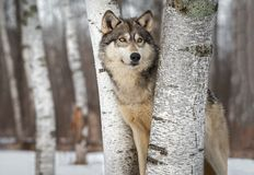 Grey Wolf Canis lupus Between Trees Looks Up and to Right Winter