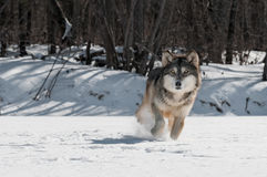 Grey Wolf (Canis lupus) Trot Stock Images