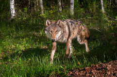 Grey Wolf (Canis lupus) Trots Around Corner Stock Photography