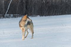Grey Wolf Canis lupus Turned Right Stock Photo