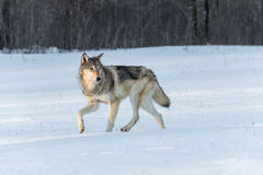 Grey Wolf Canis lupus Turns to Right in Snow Royalty Free Stock Photos