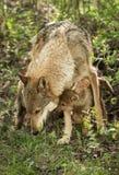 Grey Wolf (Canis Lupus) und Welpe Stockbild