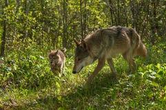 Grey Wolf Canis-Lupus und -welpe vorwärts laufen gelassen Lizenzfreies Stockbild