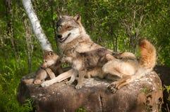 Grey Wolf (Canis Lupus) und Welpen liegen auf Felsen zusammen Stockfotos