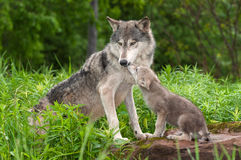 Grey Wolf Canis lupus Unwanted Pup Attention. Captive animals Stock Images