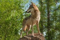 Grey Wolf Canis lupus vänder på Rock royaltyfri bild