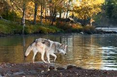 Grey Wolf (Canis lupus) Walks Along Shoreline Stock Images