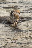 Grey Wolf Canis lupus Walks Forward in River Royalty Free Stock Photos