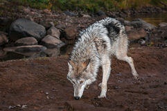 Grey Wolf Canis lupus Walks Foward Sniffing Stock Images