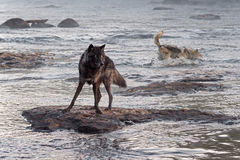 Grey Wolf (Canis lupus) Watches While Another Splashes Behind Stock Image