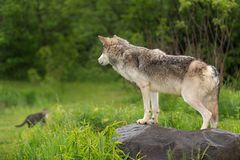 Grey Wolf Canis lupus Watches Cat in Distance Stock Photos