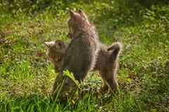 Grey Wolf Canis-Lupus Welpe springt auf Geschwister Stockfotografie