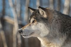 Grey Wolf Canis lupus Winter Profile Left. Captive animal Royalty Free Stock Photos