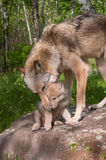 Grey Wolf (Canis lupus) Works to Pick Up Pup Royalty Free Stock Images