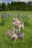 Grey Wolf Canis lupus Yearing och två valper Arkivfoton