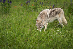 Grey Wolf Canis lupus Yearling Sniffs in Grass Stock Photo