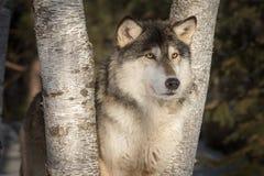 Grey Wolf Canis lupusblickar ut mellan träd Royaltyfri Bild