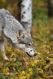 Grey Wolf Canis lupusnäsa som ska grundas i höst fotografering för bildbyråer