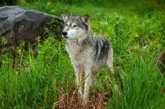 Grey Wolf Canis lupusställningar som ser lämnade Royaltyfri Fotografi