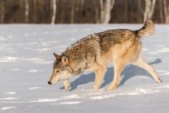 Grey Wolf Canis lupusstjälk lämnade huvudet ner Royaltyfri Foto