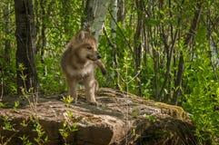 Grey Wolf Canis lupusvalper står på Rock royaltyfria bilder